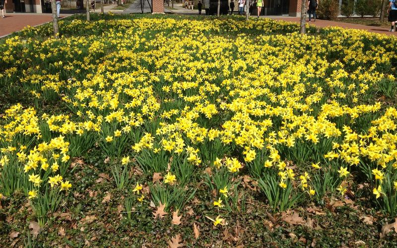 A flower bed of daffodils
