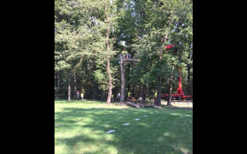 arborists cut down a tree
