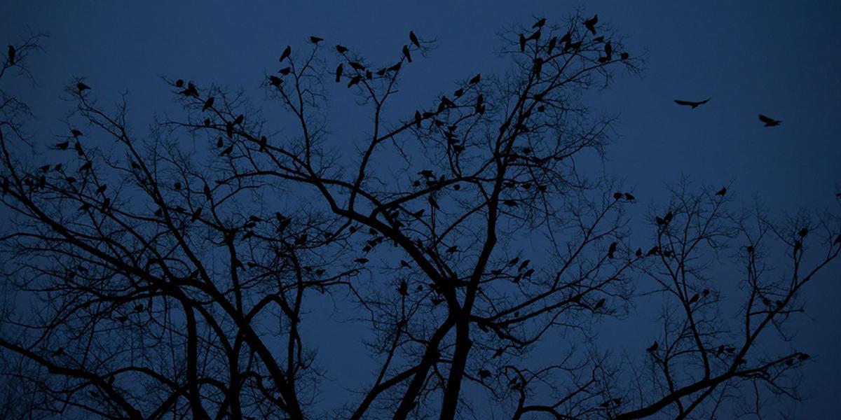 Crow Relocation